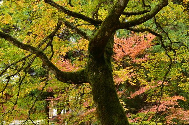 写真: 老木の秋