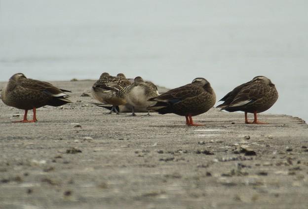 写真: 防波堤で休息するカルガモ