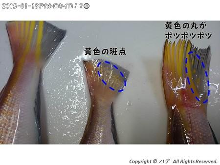2015-01-18アカシロキイロ!?(2) (8)