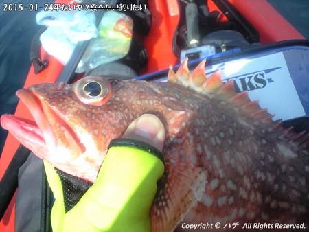 2015-01-24平たいヤツ食べたい釣りたい (13)