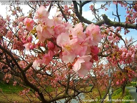 2015-02-21河津桜お花見ツーリングin南伊豆 (11)