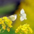 蝶と菜の花