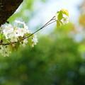 桜色々「ウスゲヤマザクラ」