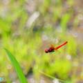 写真: ハッチョウトンボの飛翔
