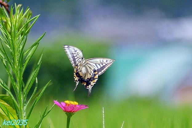 蝶の舞 NO.1