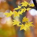 宝福寺の黄葉