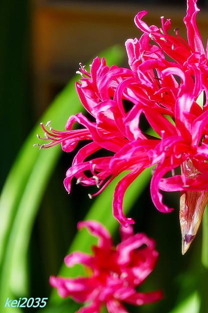 リコリスの花
