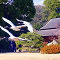 丹頂鶴の飛翔