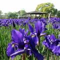 写真: アヤメの花