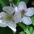 写真: ブラックベリーの花