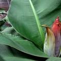 写真: 宮崎ミニバナナの花芽