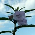 Photos: 胡麻の花