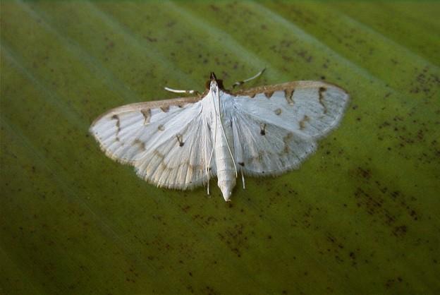 写真: 小さな蛾ヒメシロノメイガ