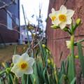 写真: 日本水仙の花