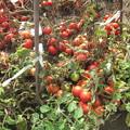 台風一過のトマト