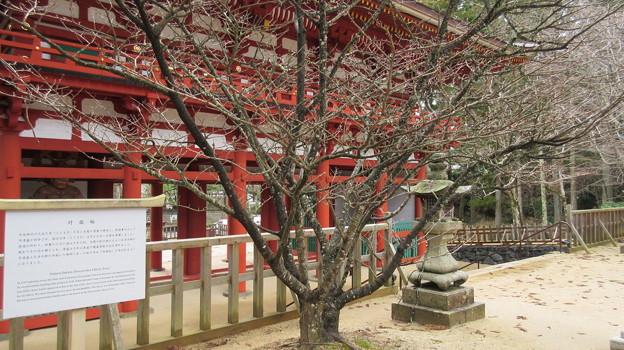 高野山壇上伽藍(高野町)対面桜