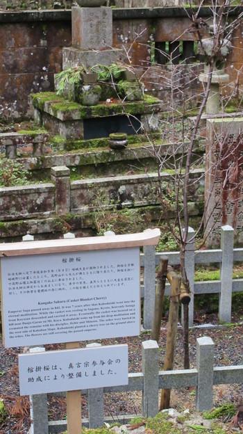 高野山金剛峯寺 奥の院(高野町)棺掛桜