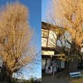 和田神社(大津市)石田三成拘繋の銀杏