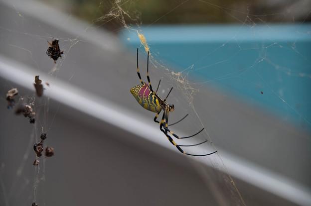 女郎蜘蛛?