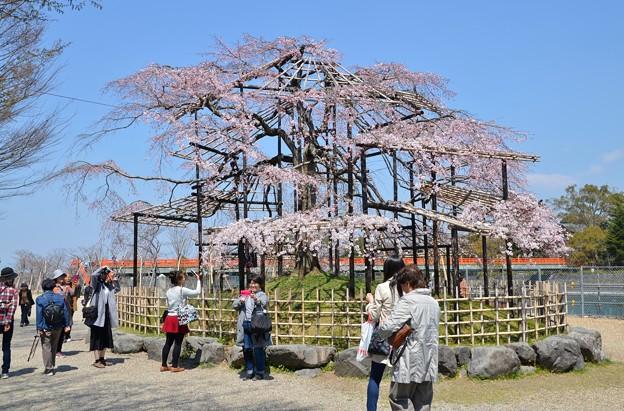 中の島のしだれ桜