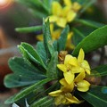 ナニワズの花