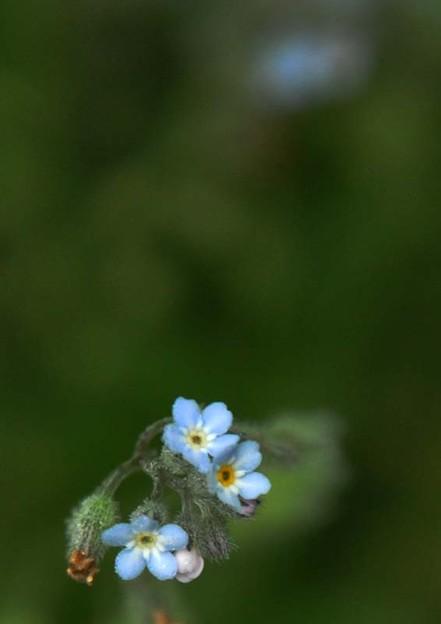 切ない恋の花