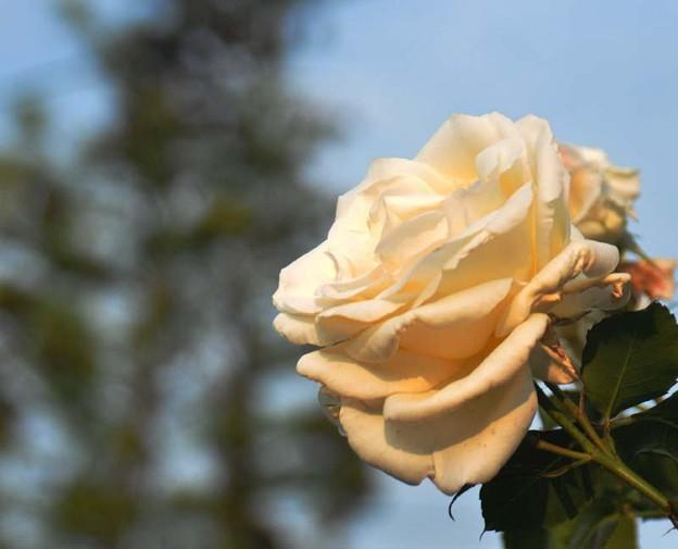 夕日に染まる白バラ