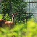 写真: 子鹿のバンビ
