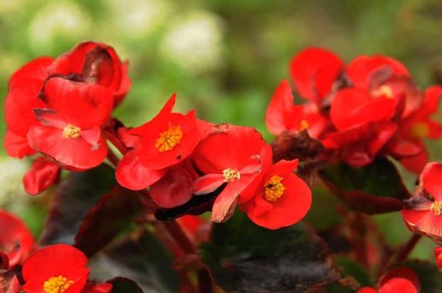 赤いベゴニア