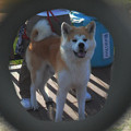 写真: 風格漂う秋田犬