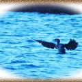 写真: ウミウの羽ばたき