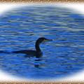 写真: ウミウの遊泳