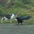 猫とカラスのニアミス