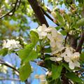 写真: 林檎の花