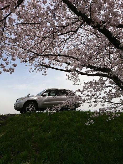 桜とマイカー2