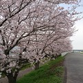 桜 2017 4月