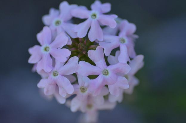 写真: 花毬