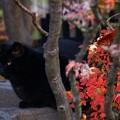 写真: ~神社の黒猫~