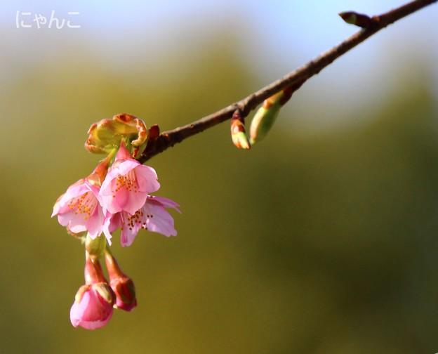 写真: ~桜咲く~
