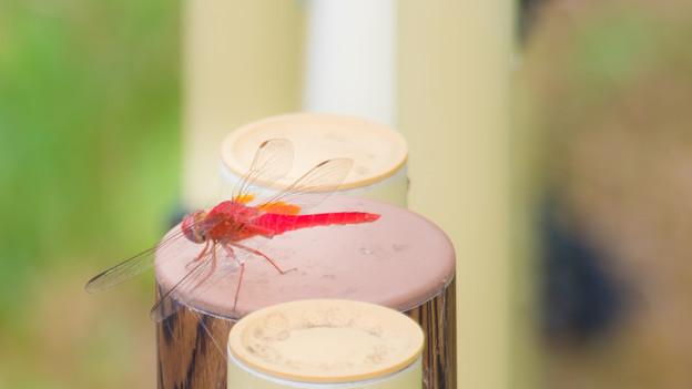 写真: 紅いトンボさん
