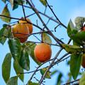 写真: HARDな柿