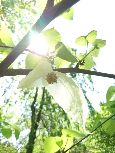 写真: 白いハンカチ  - - -花の下で--