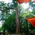 写真: 常陸の國 鹿島神宮 二郎杉
