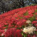 写真: 権現堂堤の彼岸花