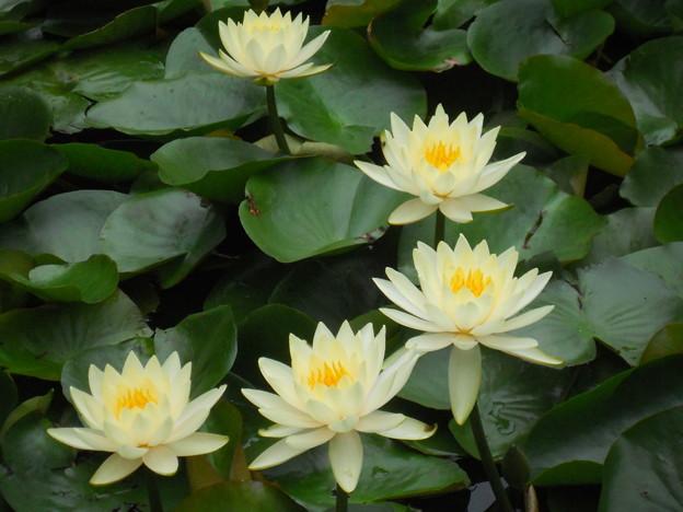 明治神宮 御苑 蓮の花