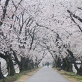 写真: 雨の桜並木