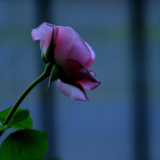 眠らない薔薇