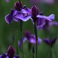 写真: 凛と咲く