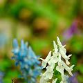 エンゴサクの白い花