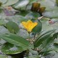 黄色い花 アサザ